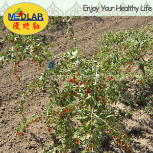 Medlar Lbp GMP Manufacture Sample Free Dried Wolfberry