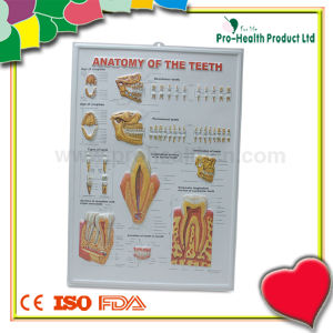 Dental Medical 3D Anatomy Chart pictures & photos