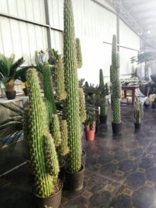 Artificial Plants of Cactus Height of 126cm pictures & photos