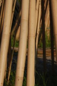 Tonkin Bamboo pictures & photos