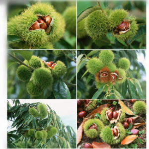 2017 Good Fresh Chestnut for Exporting pictures & photos