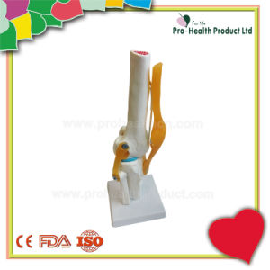 With Ligament Human Knee Joint Model pictures & photos
