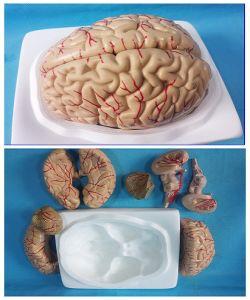 Latest Brain Scientific Model (8 Parts) Life Size pictures & photos