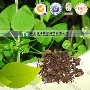 Pure Natural Herb Medicine Radix Rubiae Munjeet Qian Cao pictures & photos