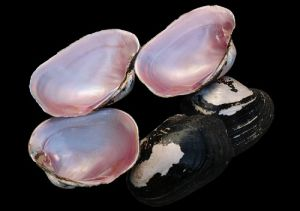 Pink Shell Raw Material for Jewellery pictures & photos