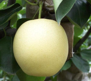 Fresh Huang Guan/Crown Pear with Good Quality on Sale pictures & photos