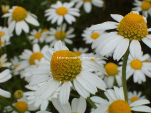 Chamomile Extract & Nettle Extract pictures & photos