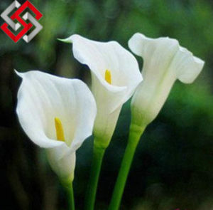Calla Lily Flower, Foam Artificial Flower, Let Beauty Exist Forever.