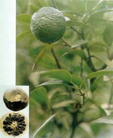 Citrus Aurantium Extract pictures & photos