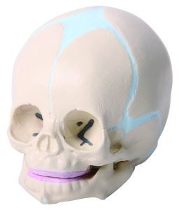 Life Size Baby Skull Model pictures & photos