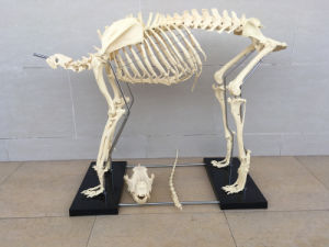 Lab Supply Animal Pet Dog Medical Anatomy Canine Skeleton Veterinary Model pictures & photos