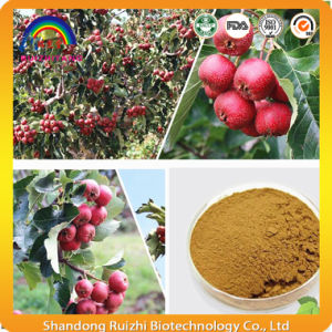 Hawthorn Berries Extract Powder for Dietary Supplement pictures & photos