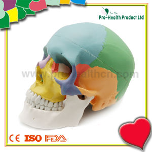 Plastic Medical Anatomical Human Skull Model pictures & photos