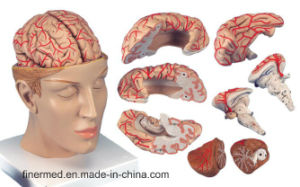 Anatomy Human Brain with Arteries Model pictures & photos