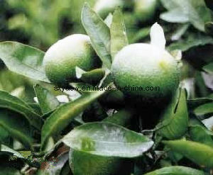 Natural Plant Extract Citrus Aurantium Extract pictures & photos