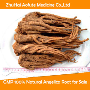 GMP 100% Natural Angelica Root for Sale pictures & photos