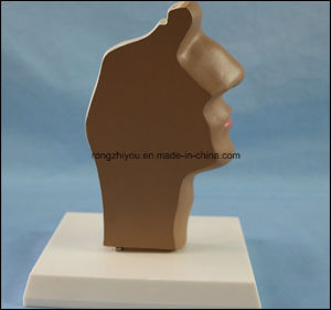 PVC Human Anatomy Median Section of The Head Model pictures & photos