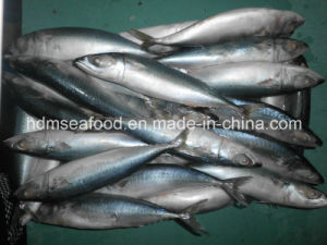 Supply Pacific Mackerel Fish Frozen Seafood (Scomber japonicus) pictures & photos