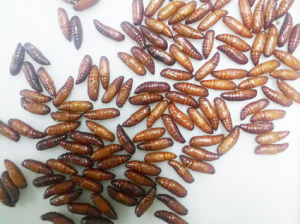 Live Insect Mythimna Separata Pupae for Sale pictures & photos