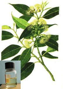 Eucalyptus Essential Oil pictures & photos