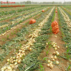 Yellow Onion Firm and Hot pictures & photos