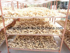 Semi Air-Dried Ginger