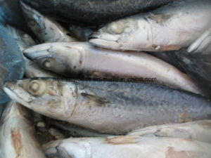 Ocean Marine Pacific Mackerel with Best Price pictures & photos