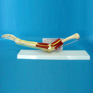 Human Elbow Joint Muscle Medical Anatomy Model for Teaching (R040102) pictures & photos