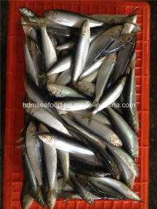 Fresh Frozen Sardine pictures & photos