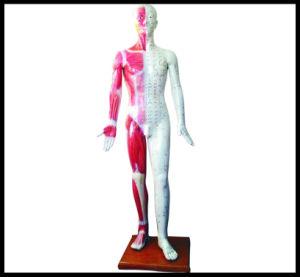 Acupuncture Modèle du corps humain (M-1-178)