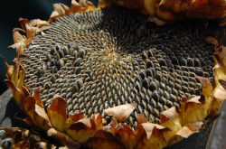 Favorable Price of Organic Sunflower Seed