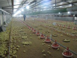 Pan Feeding System for The Chicken Farm