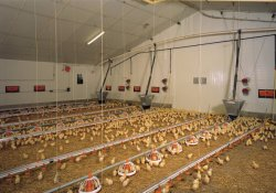 Good Quality Low Price Broiler Chicken Poultry Equipment