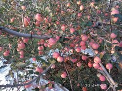 Unigrow Microbial Organic Fertilizer on Apple Planting