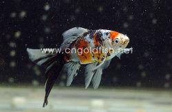 Wholesale Goldfish, Wholesale Goldfish Manufacturers