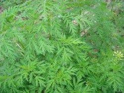 Natrural Asteraceae Artemisinin Artemisia Annua L. Extract