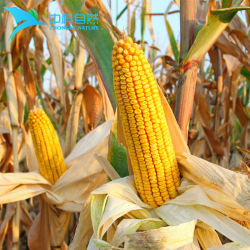Corn Dietary Fiber From Hihg Quality Maize