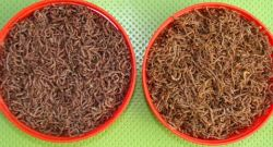Blood Worms Factory, Blood Worms Factory Manufacturers