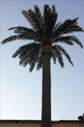 GSM Telecom Antenna Camouflaged Steel Palm Tree Tower with Lower Price and High Quality
