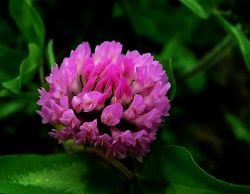 High Quality Red Clover P. E. on Sell