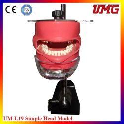 China Wholesale Dental Teaching Aids Emulated Head Model