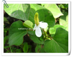 Manufacturer Houttuynia Cordata Extract Powder