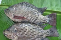 Intero Round Seafood Tilapia con All Avaiable Size