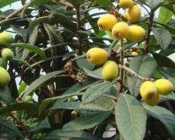 Oleanolic кислоты, органические кислоты и Loquat экстракт листьев
