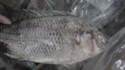 China negro todo el pescado congelado tilapia (Oreochromis niloticus) ronda de la Tilapia Entier congele