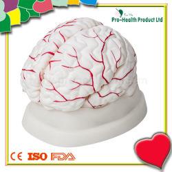 Modèle d'anatomie du cerveau humain avec la distribution de l'artère