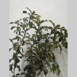 Migliori fogli freschi di vendita dell'albero del Ficus del fiore da taglio del commercio all'ingrosso ornamentale del fiore per la decorazione