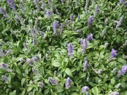 Shikonin 3~30% extrait Gromwell violet