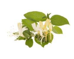 Extrait de plante naturelle Honeysuckle extrait avec l'acide chlorogénique Nlt 2,0 % pour le refroidissement Herb Herbal
