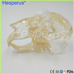 Neues Kaninchen-Zahn-Kiefer-Modell-unterrichtender Kaninchen-Veterinärzahn transparentes Berufsmodell